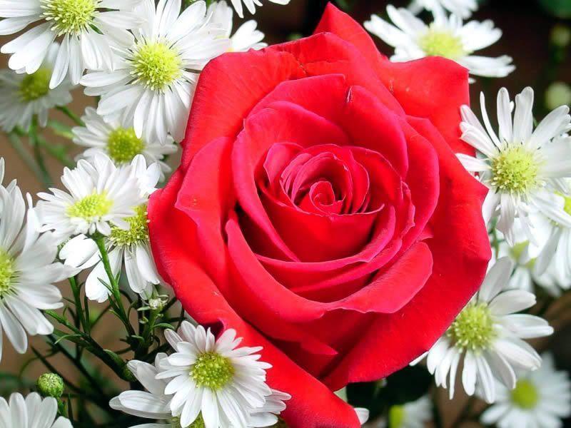 Bela rosa vermelha fotos e imagens - Fotos flores preciosas ...
